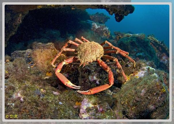 Photo d'une araignée de mer