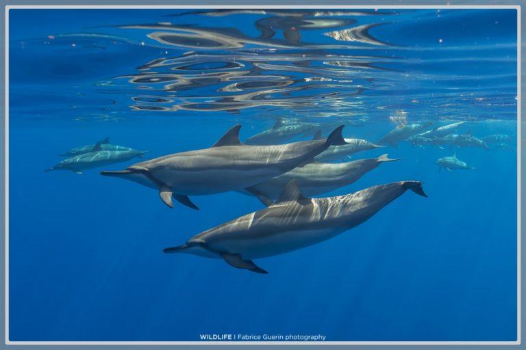 photo de dauphins en groupe qui nagent