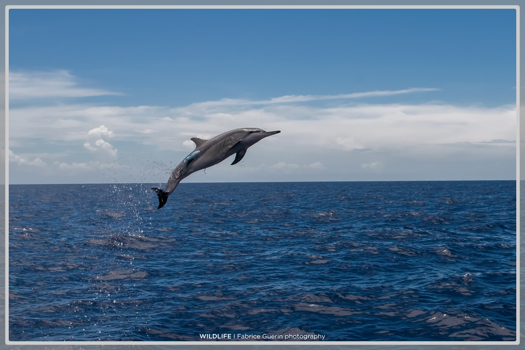 Photo d'un dauphin qui saute dans les airs