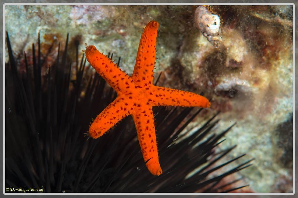 Photo d'une étoile de mer rouge juvénile Echinaster sepositus