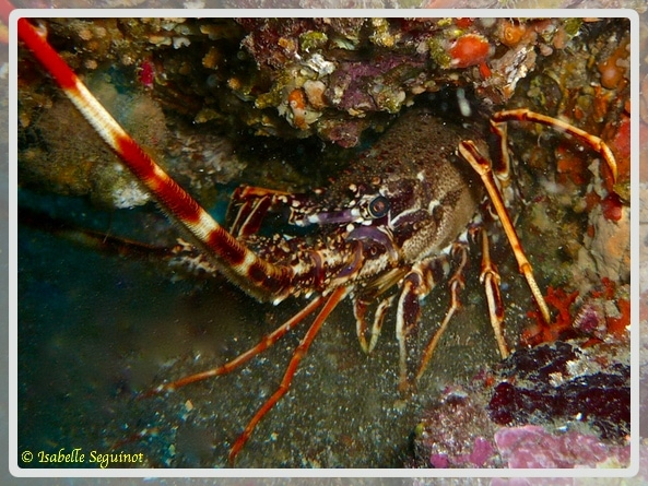 Photo d'une langouste Liban