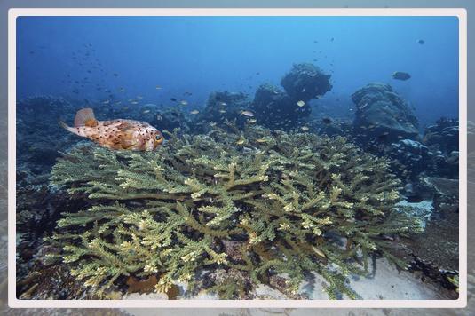 Photo d'un diodon au dessus du corail