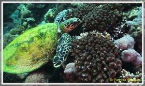 Photo d'un récif corallien avec une tortue