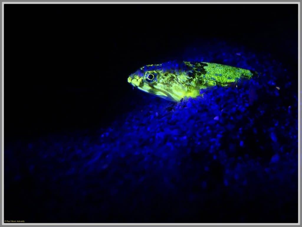 Photo d'un poisson lézard fluorescent