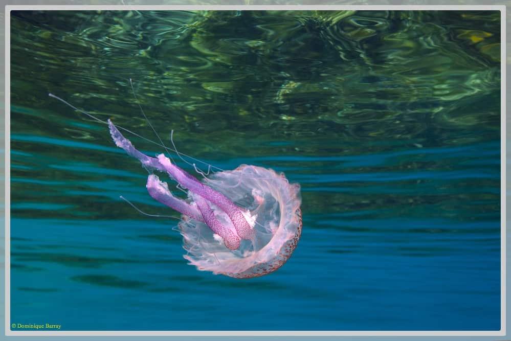 Photo d'une méduse mauve