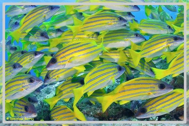 Photo d'un banc de poisson Lutjans Kasmira gros plan