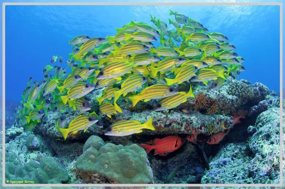 Photo de poissons en banc Lutjans Kasmira