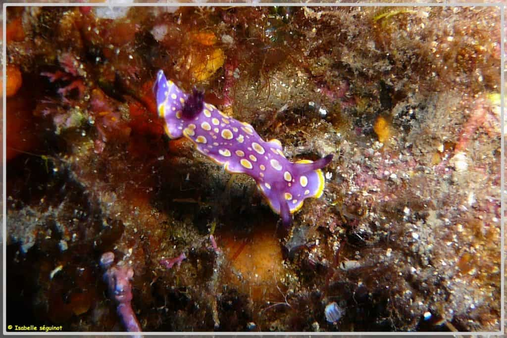 Photo d'un Nudibranche-Luterorosa