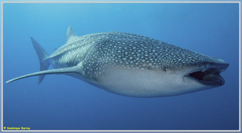 Photo d'un requin baleine de côté
