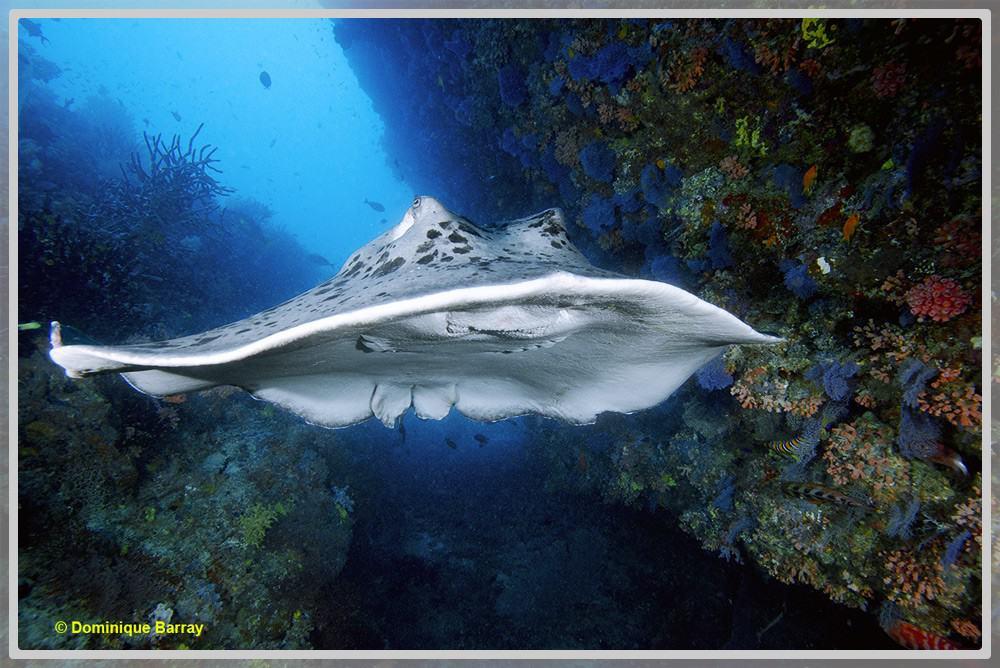 Photo d'un relief rocheux sous-marin avec une pastenague