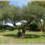 Photo d'un olivier