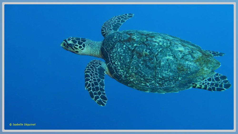 Photo d'une tortue verte dans le grand bleu