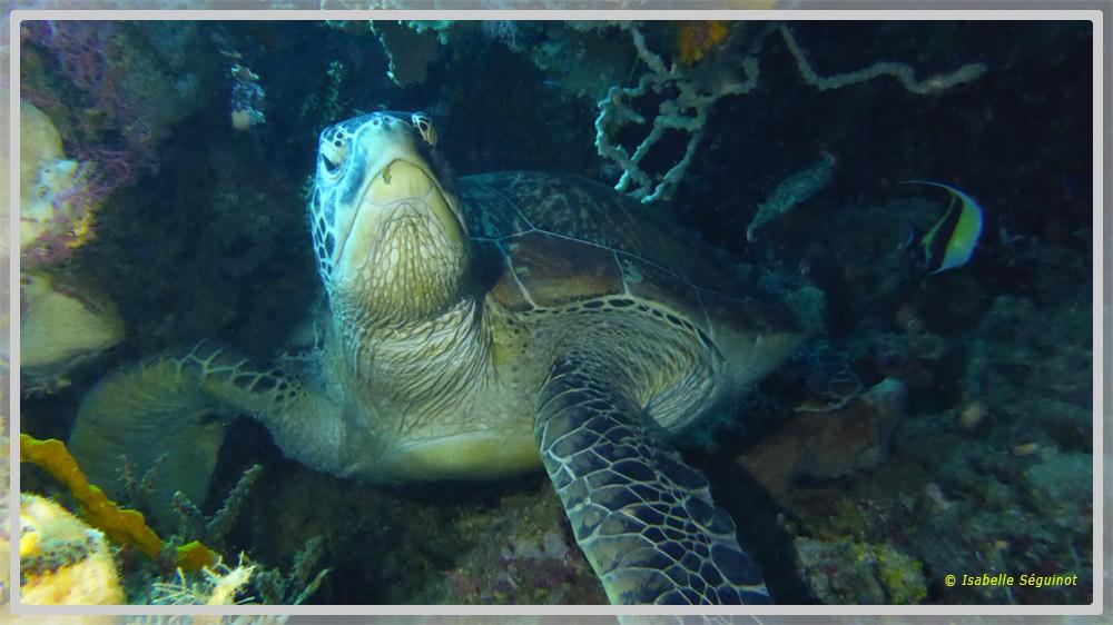 Photo d'une tortue verte au Pacifique de face