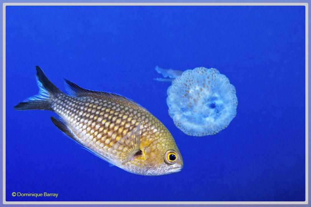 Photo d'une castagnole en pleine eau avec une méduse