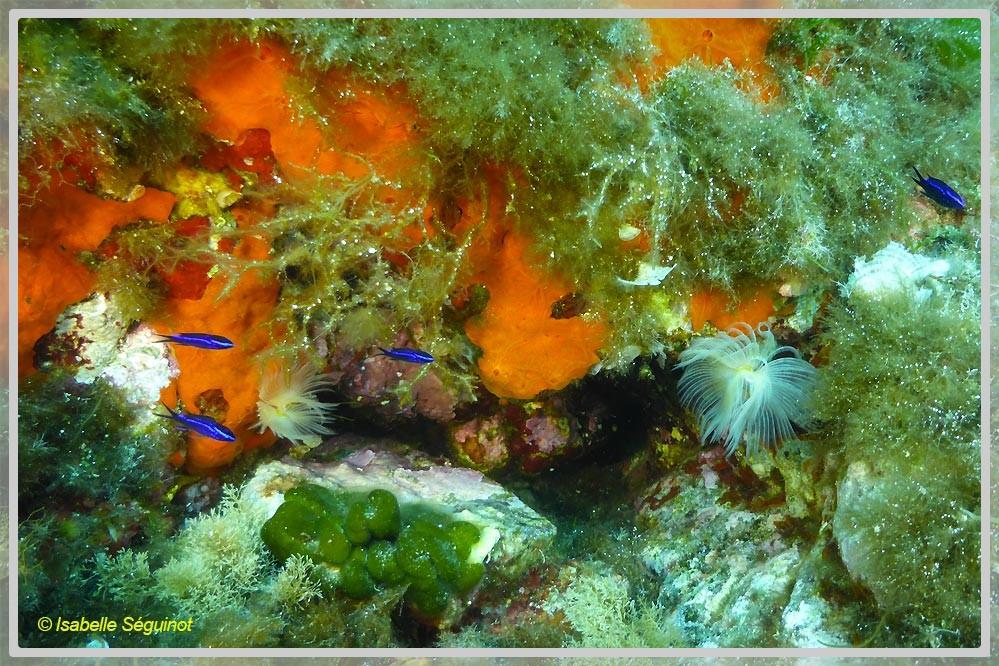 Photo de poissons castagnoles juvéniles