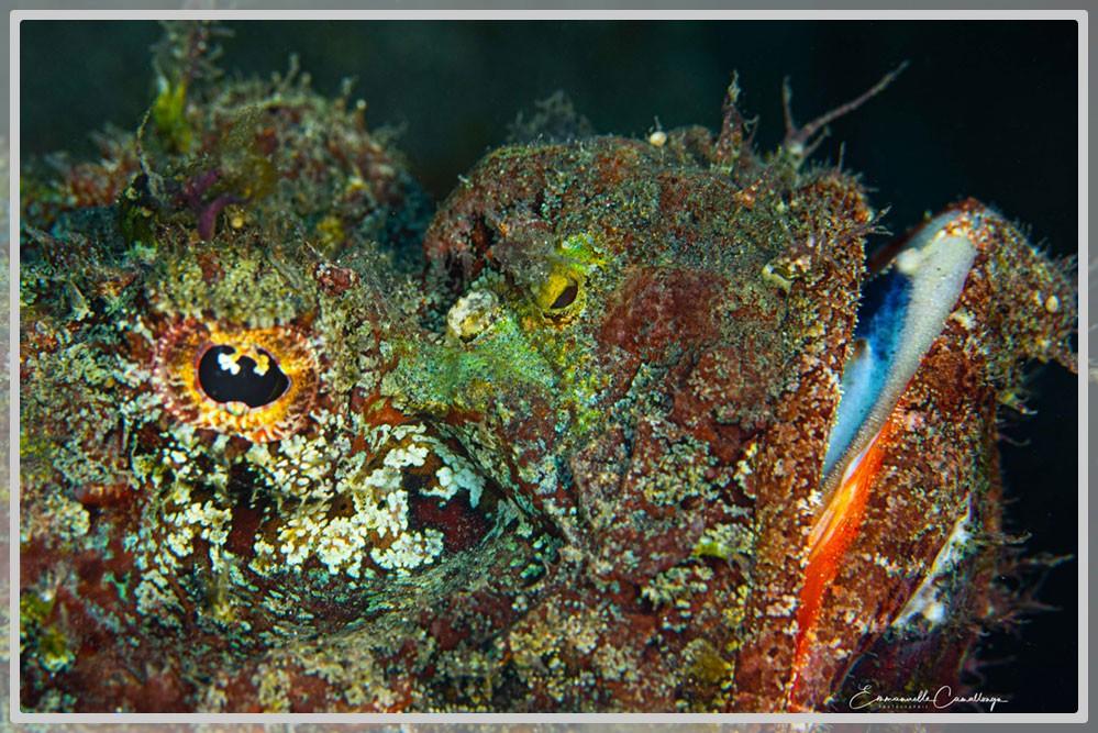Photo de la tête d'un poisson scorpion en gros plan