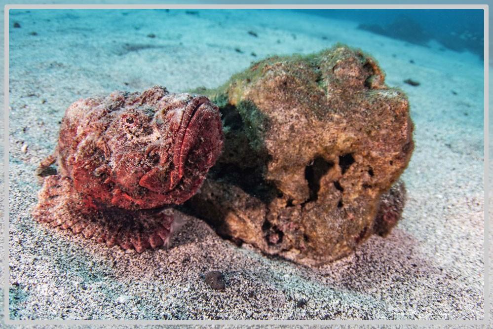 Photo d'un poisson scorpion immobile colé à une roche