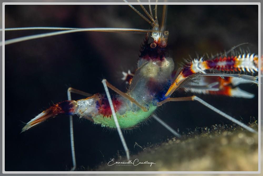 Photo d'une crevette boxeur avec ses oeufs