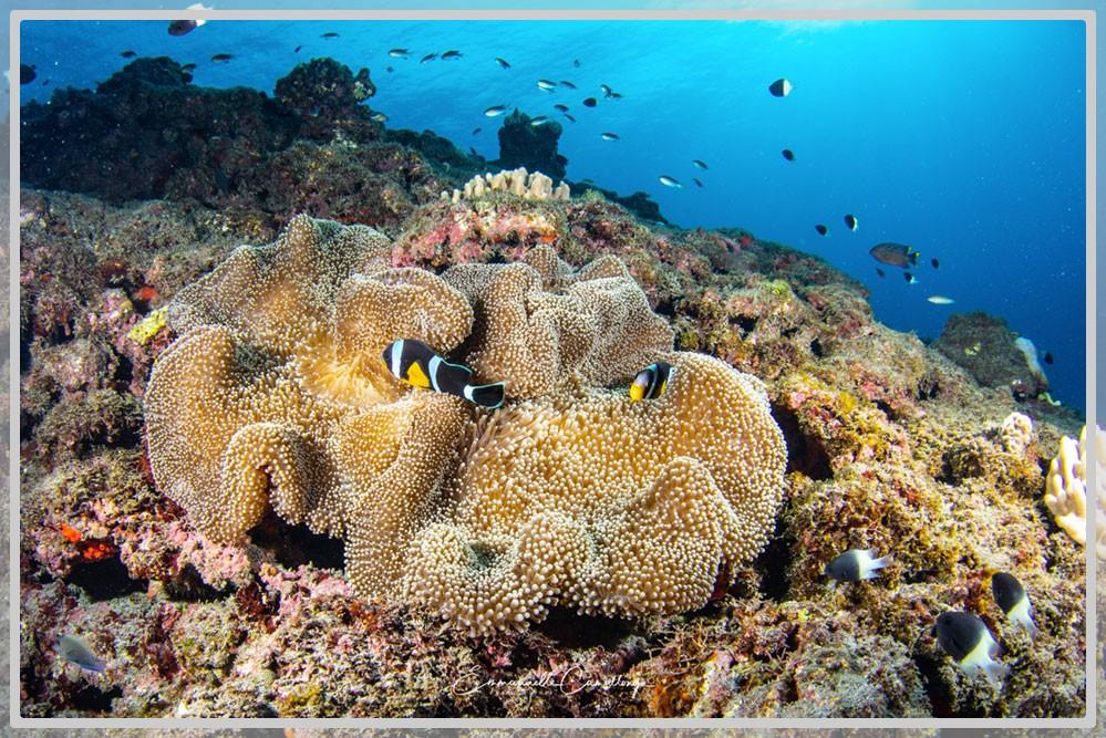Photo de plusieurs poissons clowns avec leur anémone et un décor derrière