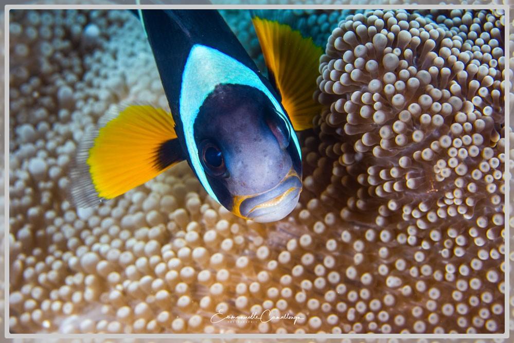 Photo d'un poisson clown de l'île Maurice gros plan vue plongée