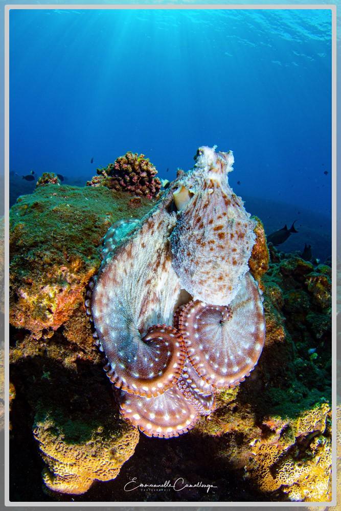 Photo d'un poulpe commun de récif octopus cyanea
