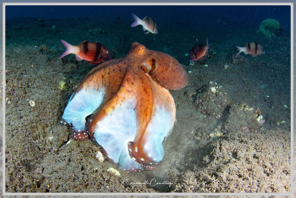 Photo d'un poulpe commun de récif Octopus cyanea
