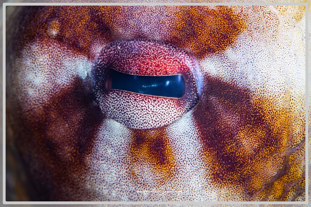 Photo d'un oeil de poulpe commun de récif Octopus cyanea