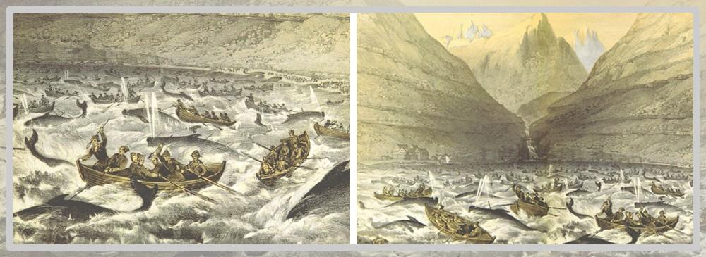 Dessin d'un grindadráp aux Îles Féroé en 1854