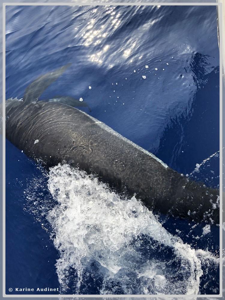Photo verticale d'un globicéphale nageant sur le côté