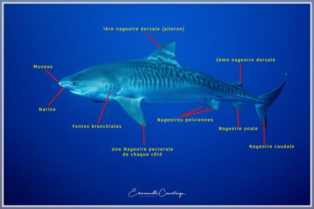 Photo d'un requin tigre avec l'explication de son anatomie