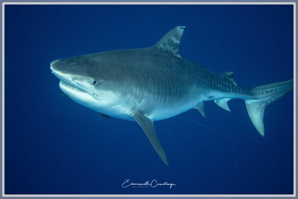 Photo d'un requin tigre au large
