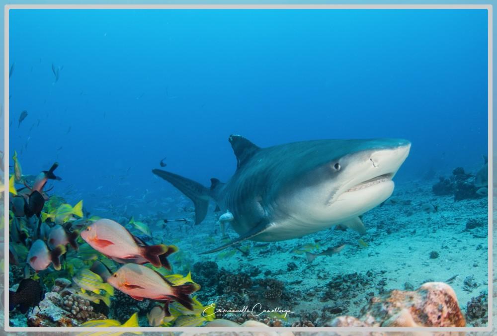 Photo d'un requin tigre près du fond