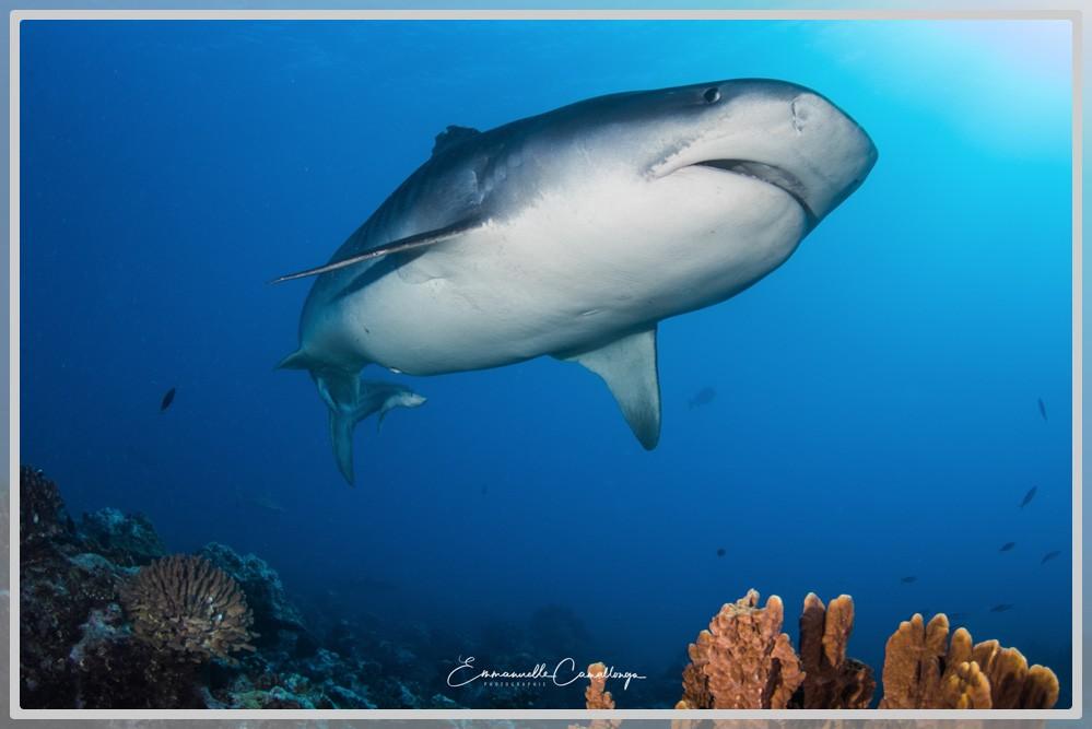 Photo d'un requin tigre vu du ventre et de la gueule