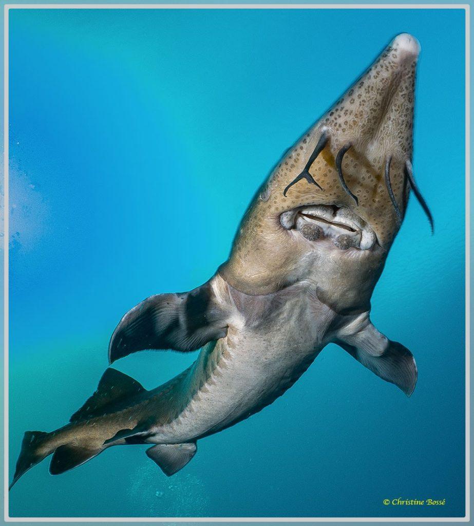 Photo d'un esturgeon sibérien en eau douce de la face inférieure avec la bouche et le ventre