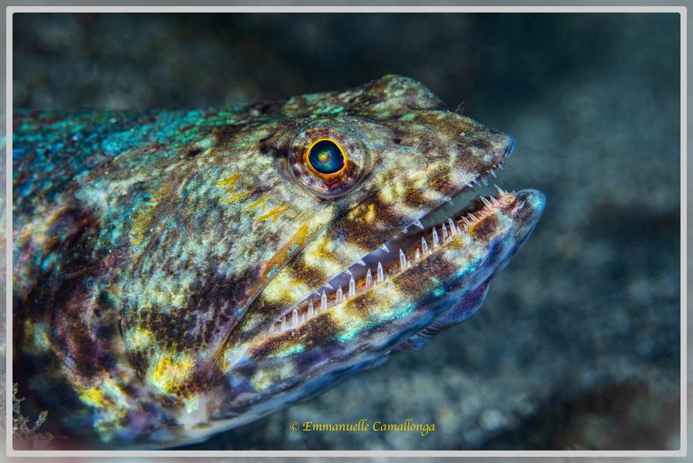 Photo de la tête d'un poisson lézard de profil droit
